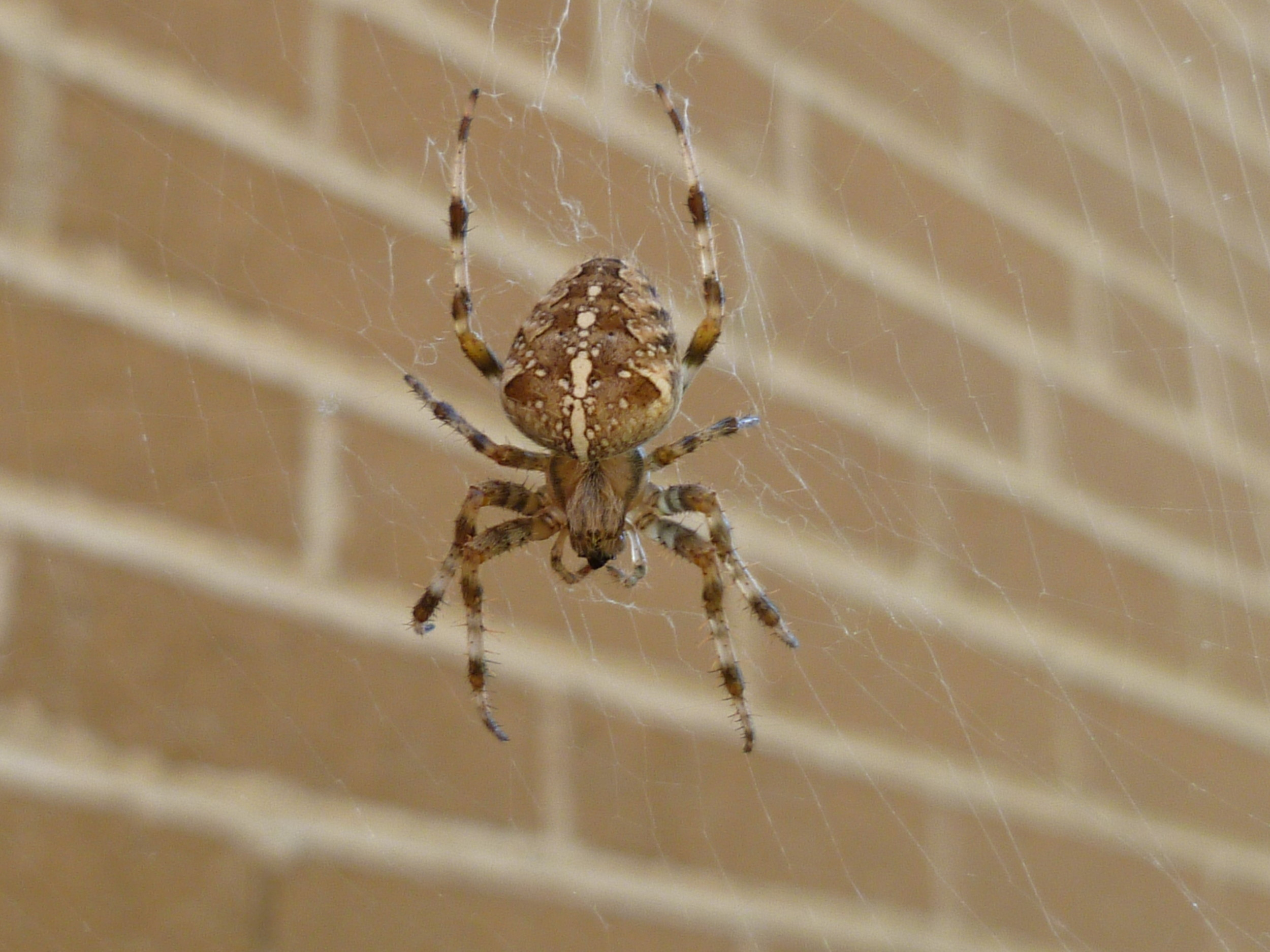 Araneus diadematus – The Cross Spider
