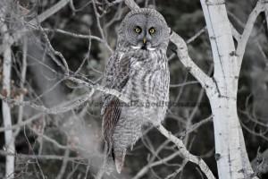 1024 - ve - grey owl - tree DSC_1908