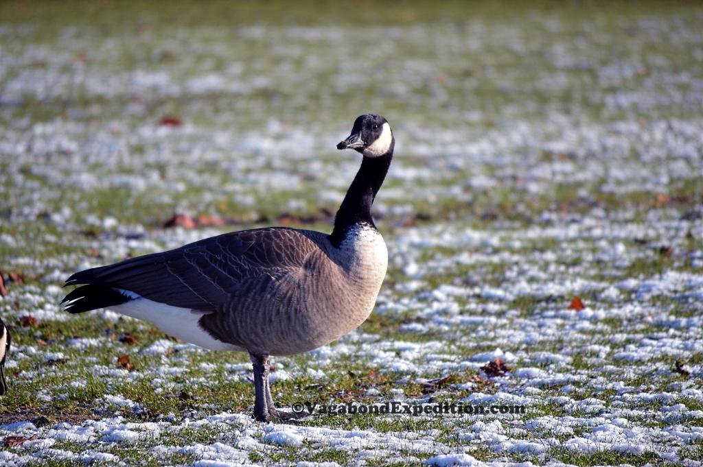 The Canada Goose