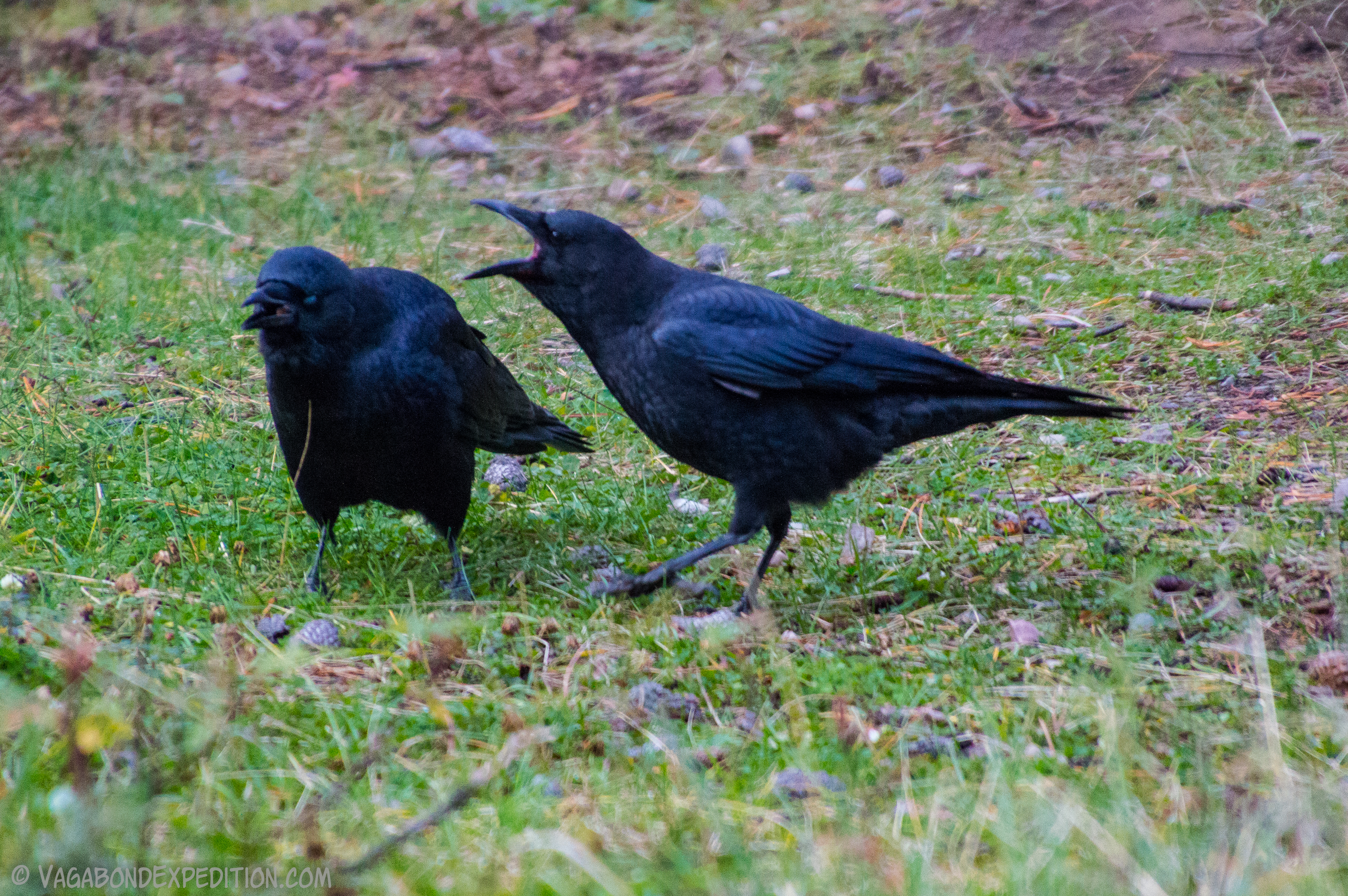 bickering crows at jasper national park